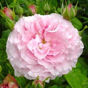Rosa 'Csíkszereda' - kármin-rózsaszín virágágyi floribunda rózsa