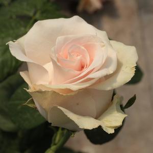 Rosa 'Csini Csani' - barackos rózsaszín teahibrid rózsa