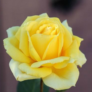 Rosa 'Csodálatos Mandarin' - citromsárga teahibrid rózsa