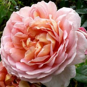 Rosa 'Delpabra' - barackos rózsaszín virágágyi floribunda rózsa