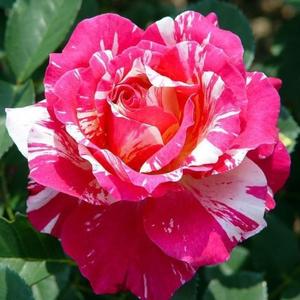Rosa 'Delstrobla' - rózsaszín, fehér csíkos virágágyi floribunda rózsa