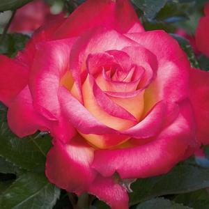 Rosa 'Dick Clark' - Krémsárga, piros szegéllyel virágágyi grandiflora - floribunda rózsa