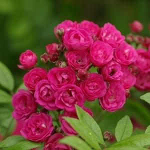 Rosa 'Dinky®' - sötét rózsaszín, magenta árnyalattal parkrózsa