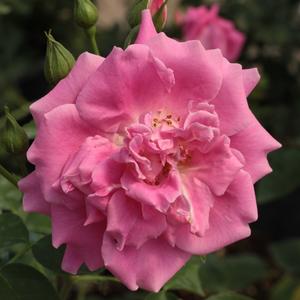 Rosa 'Diósgyőr' - Rózsaszín virágágyi floribunda rózsa