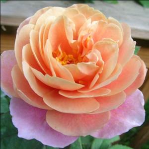 Rosa 'Distant Drums' - mályva, narancsos középpel virágágyi grandiflora - floribunda rózsa