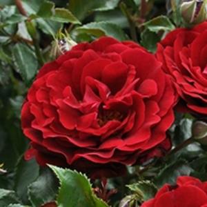 Rosa 'Draga™' - Élénk vörös virágágyi polianta rózsa