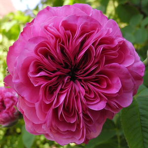 Rosa 'Duc de Cambridge' - mályvalila történelmi - damaszkuszi rózsa