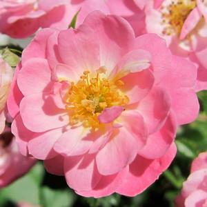 Rosa 'Easy Cover®' - Halvány rózsaszín talajtakaró rózsa