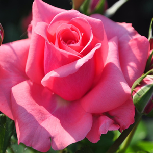 Rosa 'Elaine Paige™' - rózsaszín teahibrid rózsa