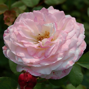 Rosa 'Eliane Gillet' - fehér, piros szegéllyel nosztalgia rózsa