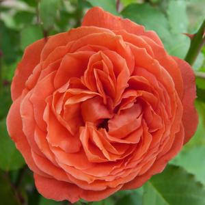 Rosa 'Emilien Guillot' - narancssárga nosztalgia rózsa
