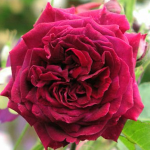 Rosa 'Empereur du Maroc' - bíbor történelmi - perpetual hibrid rózsa