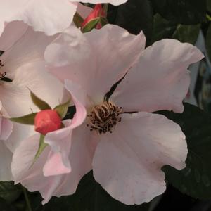Rosa 'Fáy Aladár' - Narancsos-rózsaszín parkrózsa