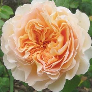 Rosa 'Felidaé' - barackos-sárga nosztalgia rózsa