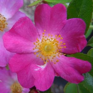 Rosa 'Fil des Saisons ®' - sötét rózsaszín talajtakaró rózsa