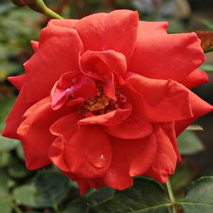 Rosa 'Flirting™' - Vörös törpe - mini rózsa