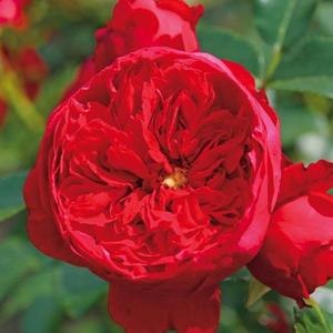 Rosa 'Florentina ®' - vörös climber, futó rózsa