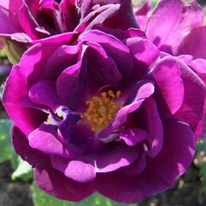 Rosa 'Forever Royal' - lila virágágyi floribunda rózsa