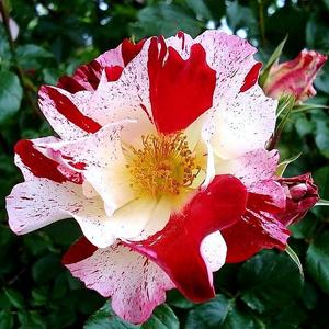 Rosa 'Fourth of July' - piros, fehér csíkos climber, futó rózsa