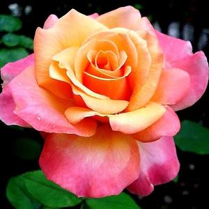Rosa 'Frénésie' - Sárga, rózsaszín árnyékolással teahibrid rózsa