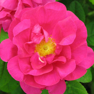Rosa 'Gallica 'Officinalis'' – sötét rózsaszín történelmi - gallica rózsa