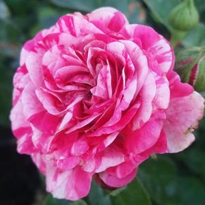 Rosa 'Gaudy™' rózsaszín-fehér talajtakaró rózsa