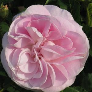 Rosa 'Général Kléber' - halvány rózsaszín történelmi - moha rózsa