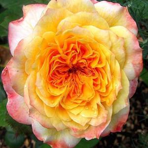 Rosa 'Georges Denjean' - Narancsos-sárga, rózsaszín szegéllyel nosztalgia rózsa