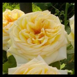 Rosa 'Golden Tower®' - sárga teahibrid rózsa