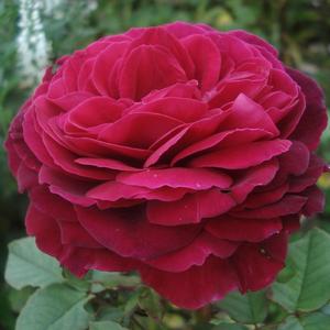 Rosa 'Gospel®' - mályvalila teahibrid rózsa