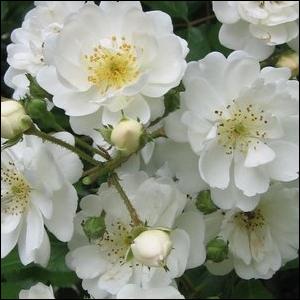 Rosa 'Guirlande d'Amour®' - fehér parkrózsa