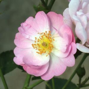 Rosa 'Hadikfalva' - - virágágyi polianta rózsa