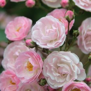 Rosa 'Heavenly Pink®' - középrózsaszín parkrózsa