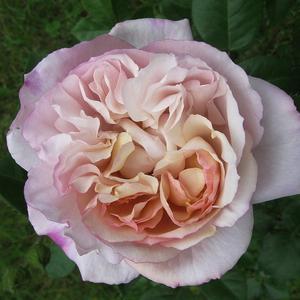 Rosa 'Herkules ®' - krémszínű - levendula árnyékolással nosztalgia rózsa