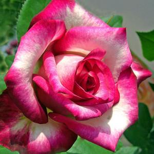 Rosa 'Hessenrose' - Fehér, rózsaszín szegéllyel teahibrid rózsa