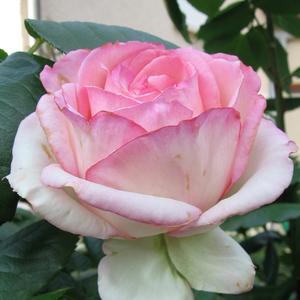 Rosa 'Honoré de Balzac' - rózsaszín árnyalatú krémfehér virágágyi floribunda rózsa