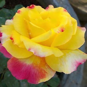Rosa 'Horticolor' - Sárga, rózsaszín szegéllyel teahibrid rózsa
