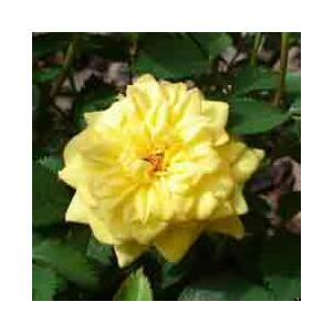 Rosa hybrida 'Golden Sun' – Rózsa