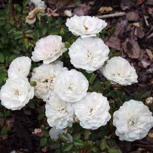 Rosa hybrida 'Seafoam' – Rózsa