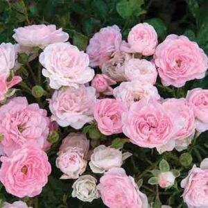 Rosa hybrida 'The Fairy' – Talajtakaró rózsa