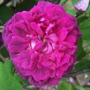 Rosa 'Indigo' - sötétlila, kármin-rózsaszín árnyalatú történelmi - portland rózsa