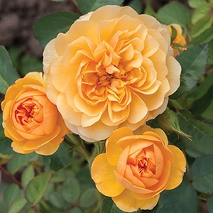 Rosa 'Isidora™' - Arany sárga virágágyi floribunda rózsa
