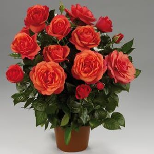 Rosa 'Jaipur™' - Narancs törpe - mini rózsa
