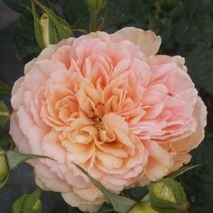 Rosa 'Jelena™' - Sárgabarack virágágyi floribunda rózsa