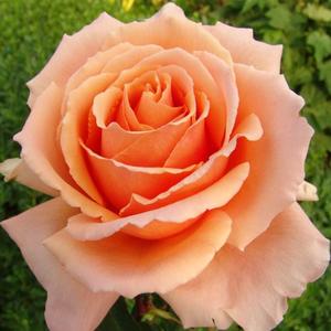 Rosa 'Just Joey' - barnás narancs teahibrid rózsa