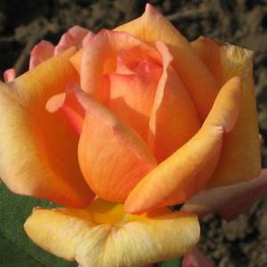 Rosa 'Kalotaszeg' - Baracksárga, piros futtatással teahibrid rózsa