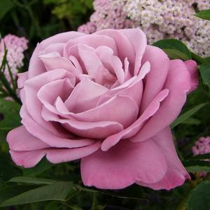 Rosa 'Katherine Mansfield' - lila teahibrid rózsa