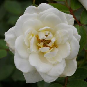 Rosa 'Kent Cover ®' - Fehér talajtakaró rózsa