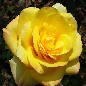Rosa 'King's Ransom' - Aranysárga teahibrid rózsa