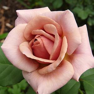 Rosa 'Koko Loco' – narancsos-barna virágágyi floribunda rózsa